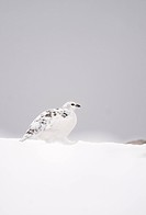 Rock Ptarmigan Lagopus mutus adult female, white winter plumage, walking across snowfield, Cairngorm Mountains, Highlands, Scotland, february