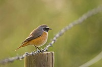 Common Redstart Phoenicurus phoenicurus adult male, autumn plumage, perched on fencepost, Norfolk, England, october