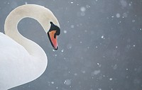Mute Swan Cygnus olor adult, close_up of head and neck, during blizzard, Derbyshire, England, january