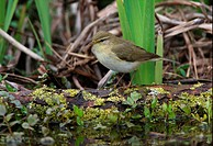Willow Warbler Phylloscopus trochilus adult, perched on log in pond, Norfolk, England, april