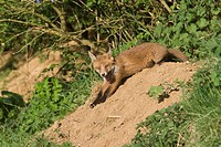European Red Fox Vulpes vulpes cub, yawning and stretching in early evening sunshine, at den entrance under hedgerow, Oxfordshire, England, may
