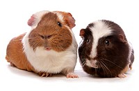 Domestic Guinea Pig Cavia porcellus two adults