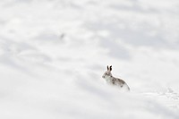 Mountain Hare Lepus timidus adult, winter coat, sitting on moorland in snow, Peak District, Derbyshire, England, winter