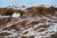 Mountain Hare Lepus timidus adult, winter coat, resting on moorland in frost, Peak District, Derbyshire, England, winter