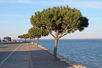 Stone Pine Pinus pinea habit, growing on seawall, Arcachon, Aquitaine, France, march