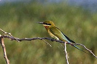 Blue_tailed Bee_eater Merops philippinus adult, Sri Lanka