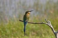 Blue_tailed Bee_eater Merops philippinus adult, Sri Lanka