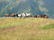 Horses, The Rila Mountains, Bulgaria