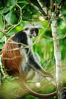 Colobus monkey in tree