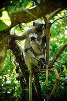 Colobus monkeys in tree