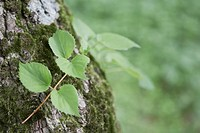 Vine growing around a tree trunk, Takayama, Gifu Prefecture, Japan