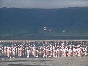 flamingoes, nature, pink, tanzania, person, people
