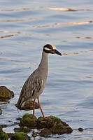 florida, night, scenic, shore, heron, yellowcrowned