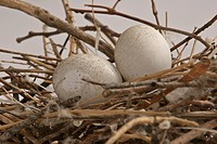 pigeon, scenic, nest, eggs, rock