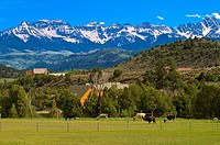 Llamas in pasture Sneffels Range in the background, Ridgway, Colorado USA