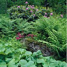 Ferns and pink rhododendrons behind stone wall in country garden