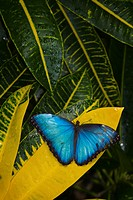 tropical, morpho, rest, butterfly, croton, blue