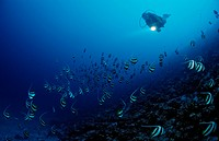 Diver and Pennant Bannerfishes, Heniochus diphreutes, Indian Ocean, Maldives Island