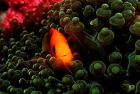 Saddle Anemonefish, Amphiprion ephippium, Similan Islands, Thailand