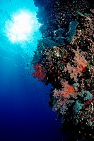 Colorful Coral Reef, Ras Mohamed, Sinai, Red Sea, Egypt