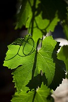Detail of a leaf on a grape vine