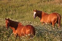 saskatchewan, grazing, southern, scenic, pasture, horses