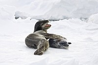 A mother and newborn pup leopard seal Hydrurga leptonyx hauled out on ice floes on the western side of the Antarctic peninsula, southern ocean. This i...