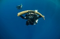 Diver with a recovered tusk. Red Sea, Egypt.