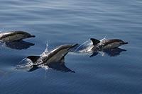 Common Dolphin Delphinus delphis, Azores
