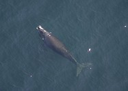 Aerial view of Northern right whale Balaena glacialis glacialis surfacing. Gulf of Maine, USA. rr