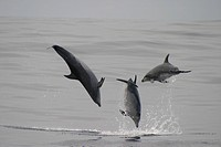 Bottlenose Dolphin Tursiops truncatus leaping trio. Azores