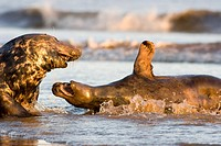 Grey Seal Halichoerus grypus male and female, female on her back rejecting male´s advances to mate, Lincolnshire, UK