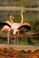 Greater flamingo Phoenicopterus ruber foraging for small pink shrimp Artemia salina in saltwater lagoons in the Galapagos Island Group, Ecuador. Pacif...
