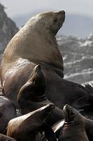 Steller Northern Bull Sea Lion Eumetopias jubatus hauled out with young animals Southeast Alaska, USA.