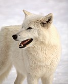 nature winter arctic wolf in wolves snow wild