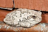 tree house nature gray frog hyla versicolor eye