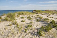 Plants fight to survive on a clear day on the dunes, Long Beach Island, New Jersey, USA