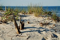 Decay and growth on the dunes, Long Beach Island, New Jersey, USA