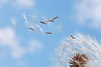 Dandelion Taraxacum officinale seeds blowing in the air
