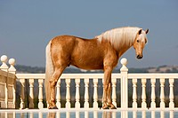 Andalusian horse _ standing in front of a balustrade