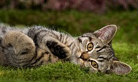 British Shorthair cat _ lying on meadow