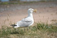 Close up of seagull with open beak standing in grass with sand in background