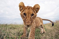 Inquisitive lion cub (Panthera leo) -wide angle perspective-, Maasai Mara National Reserve, Kenya