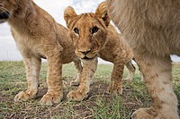 Inquisitive lion cubs (Panthera leo) -wide angle perspective-, Maasai Mara National Reserve, Kenya