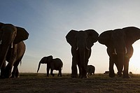 African elephant (Loxodonta africana) herd in the early morning -wide angle perspective-, Maasai Mara National Reserve, Kenya