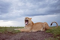 Lion (Panthera leo) adolescent male yawning -wide angle perspective-, Maasai Mara National Reserve, Kenya