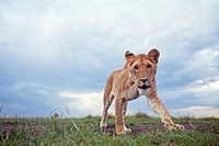 Lion (Panthera leo) adolescent approaching with curiosity -wide angle perspective-, Maasai Mara National Reserve, Kenya