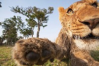 Lion (Panthera leo) adolescent reaching out -wide angle perspective-, Maasai Mara National Reserve, Kenya