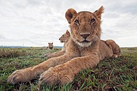 Lion (Panthera leo) adolescents resting -wide angle perspective-, Maasai Mara National Reserve, Kenya
