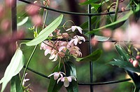 CLEMATIS ARMANDII ´APPLE BLOSSOM´.